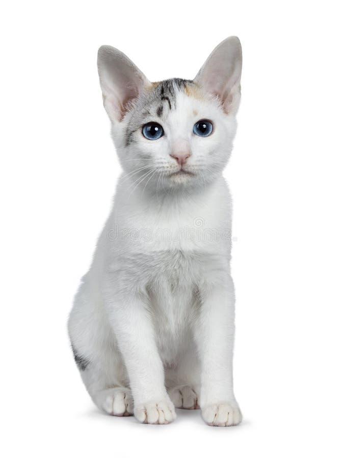 Het leuke zilver gevormde shorthair Japanse die katje van de Bobtailkat, op witte achtergrond wordt geïsoleerd stock afbeeldingen