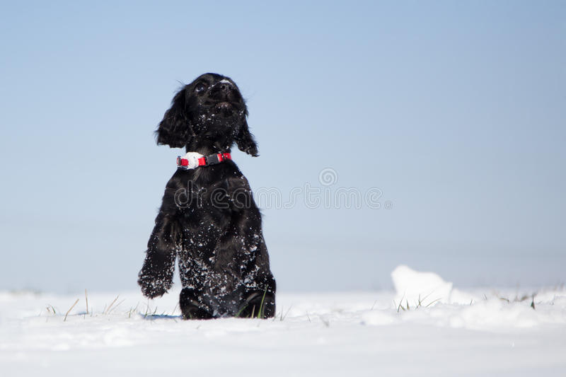 Het puppy van de cocker-spaniël staat op stock foto