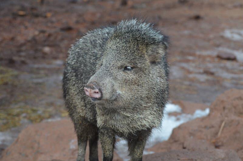 Het leuke zwarte en bruine varken van het pekaristinkdier in de wildernis royalty-vrije stock foto