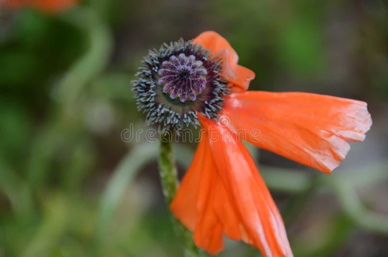 Het leven van een eind van de Papaverbloem van het leven, bloemblaadjes die teruglopen stock afbeelding
