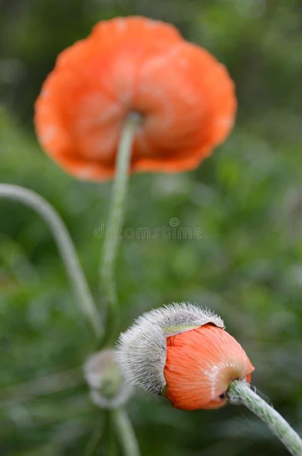 Het leven van een losbarstende bloem van de Papaverbloem van knopjasje stock foto