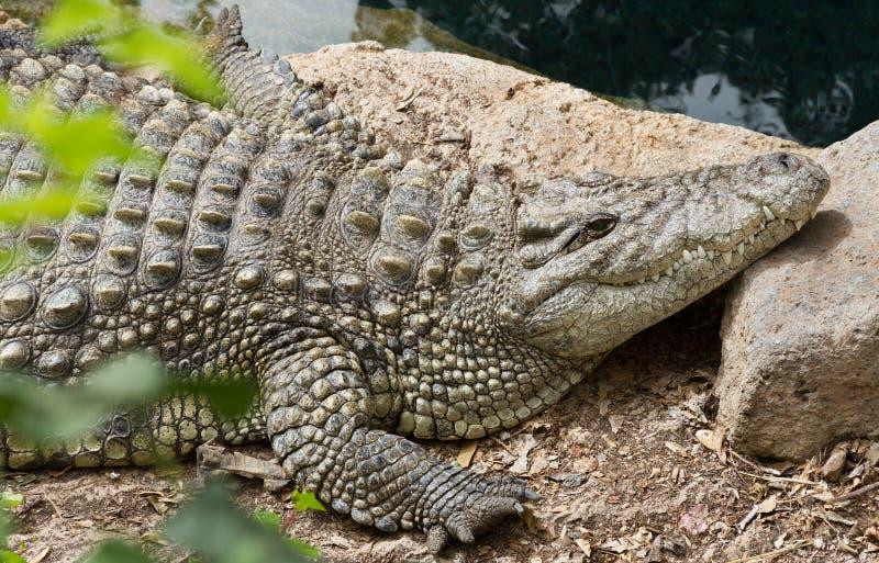 Het leven van krokodil stock afbeeldingen