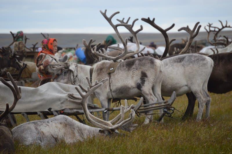 Het leven van rendierherders op het Yamal-Schiereiland royalty-vrije stock foto's