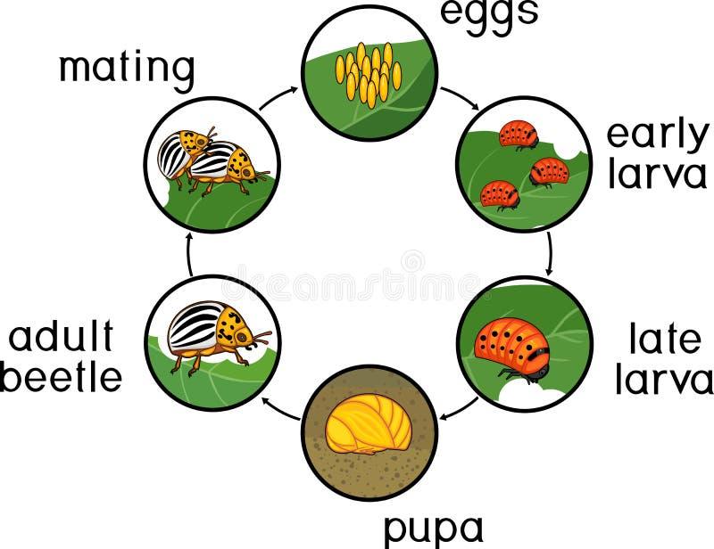 Het levenscyclus van de coloradokever van Colorado of Leptinotarsa-decemlineata Stadia van ontwikkeling van ei aan volwassen inse vector illustratie