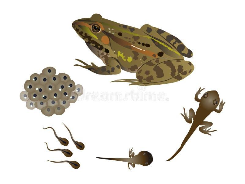 Het levenscyclus van de kikker royalty-vrije illustratie