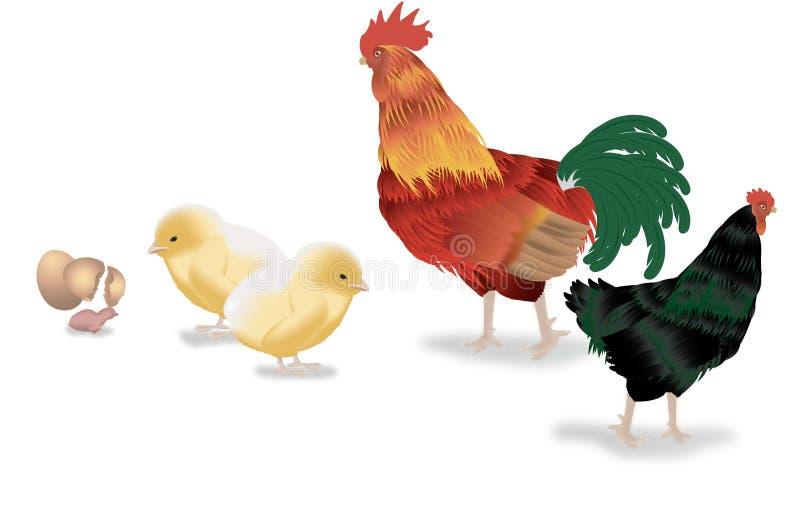 Het levenscyclus van de kip royalty-vrije stock foto