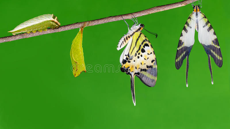 Het levenscyclus van de vijf bar swordtail vlinder stock fotografie