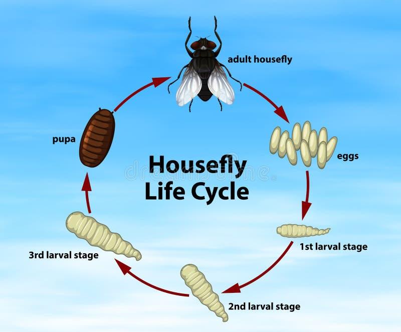 Het Levenscyclus van de wetenschapshuisvlieg stock illustratie