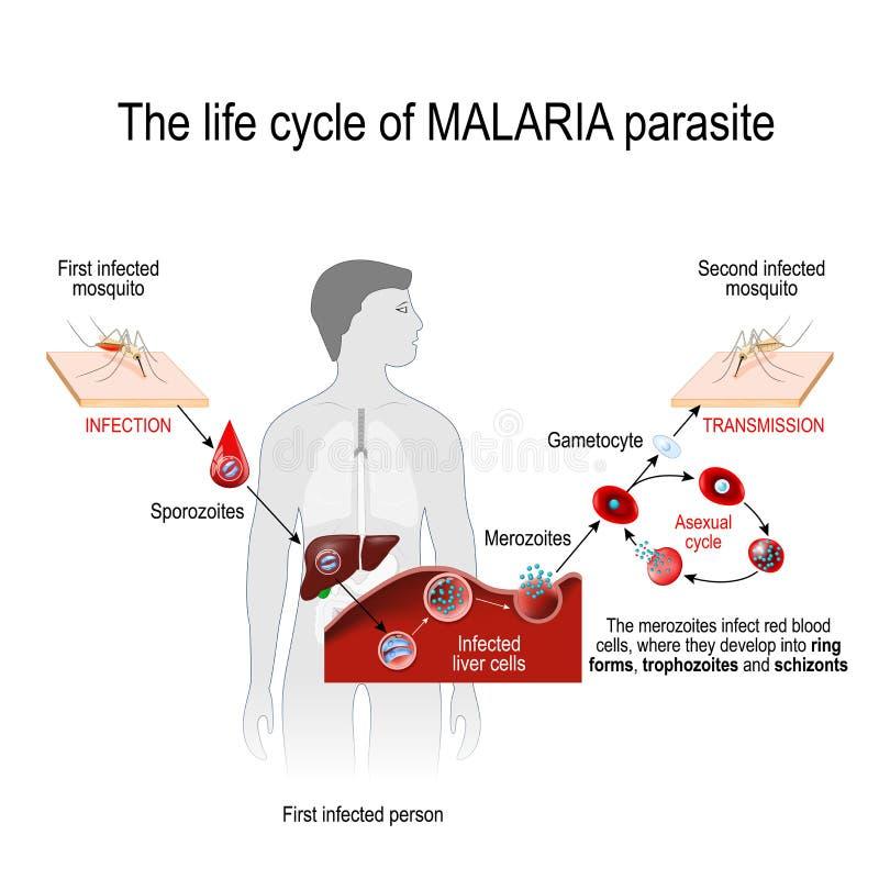 Het levenscyclus van een malariaparasiet stock illustratie