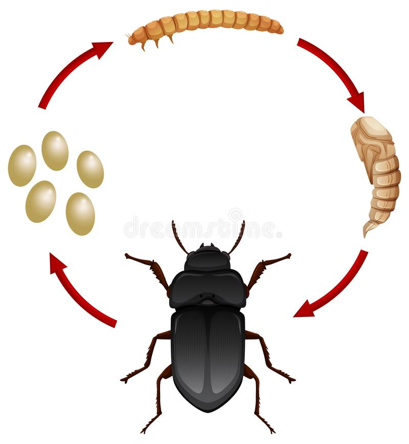 Het levenscyclus van een mealwoem stock illustratie