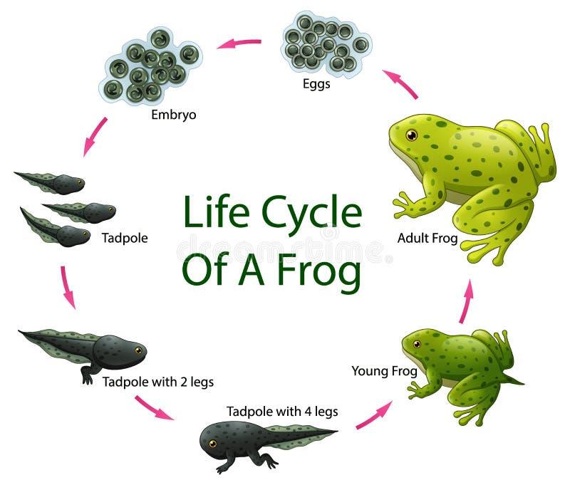 Het levenscyclus van Kikker royalty-vrije illustratie