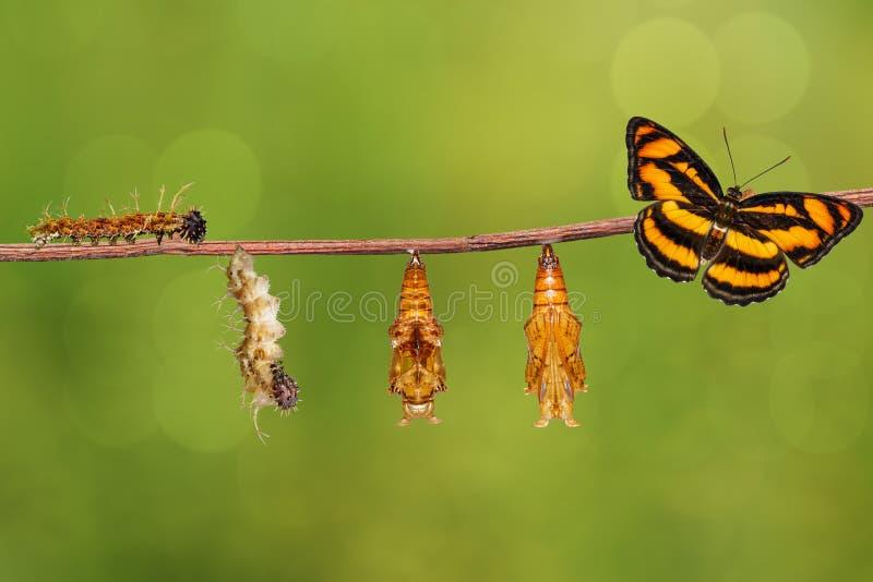 Het levenscyclus van kleuren het segeant vlinder hangen op takje stock fotografie