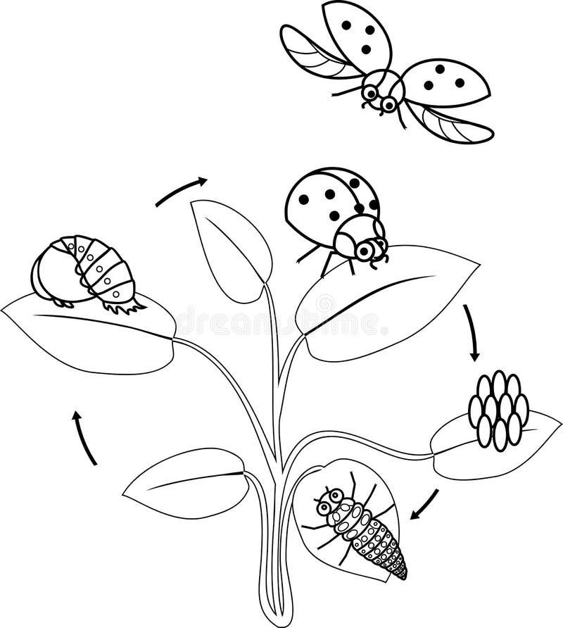 Het levenscyclus van lieveheersbeestje kleurende pagina Stadia van ontwikkeling van lieveheersbeestje van ei aan volwassen insect stock illustratie