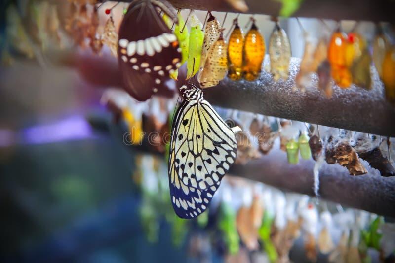 Het levenscyclus van vlinder stock afbeeldingen