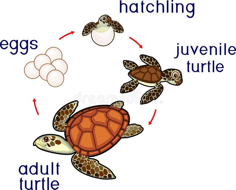 Het levenscyclus van zeeschildpad Opeenvolging van stadia van ontwikkeling van schildpad van ei aan volwassen dier vector illustratie