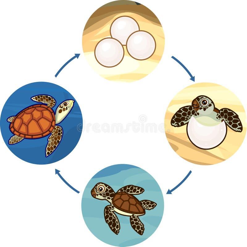 Het levenscyclus van zeeschildpad Stadia van ontwikkeling van schildpad van ei aan volwassen dier vector illustratie