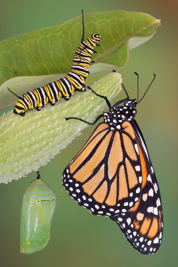 Het levensstadia van de monarch royalty-vrije stock afbeeldingen