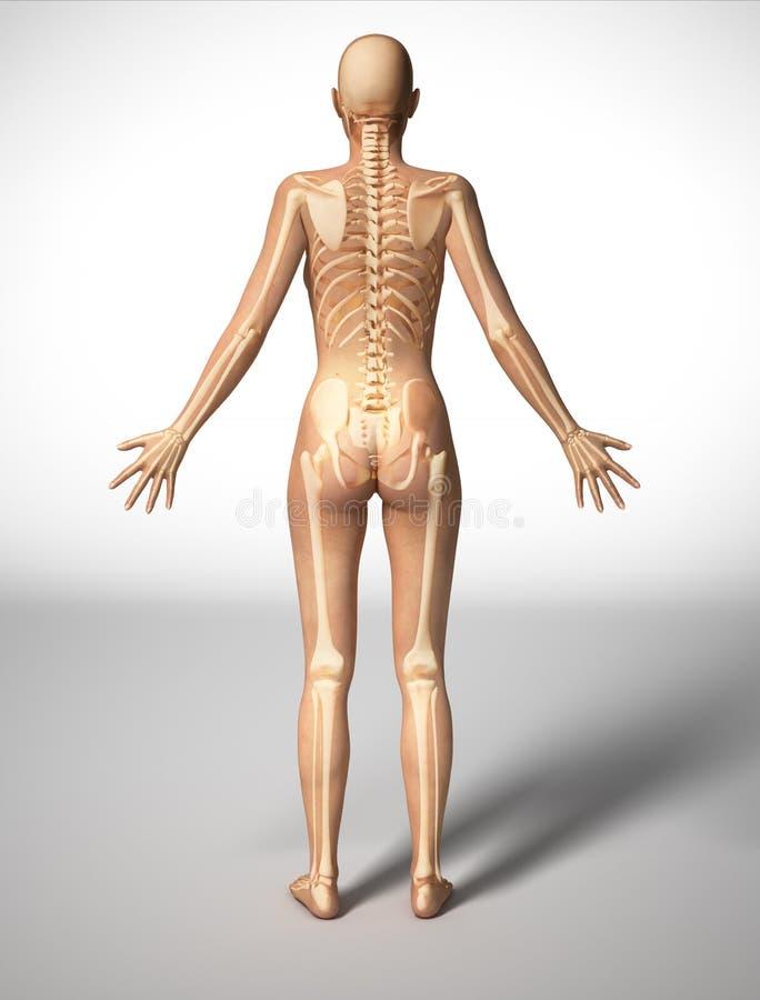 Het lichaam van de vrouw met beenskelet, achtermening. royalty-vrije illustratie