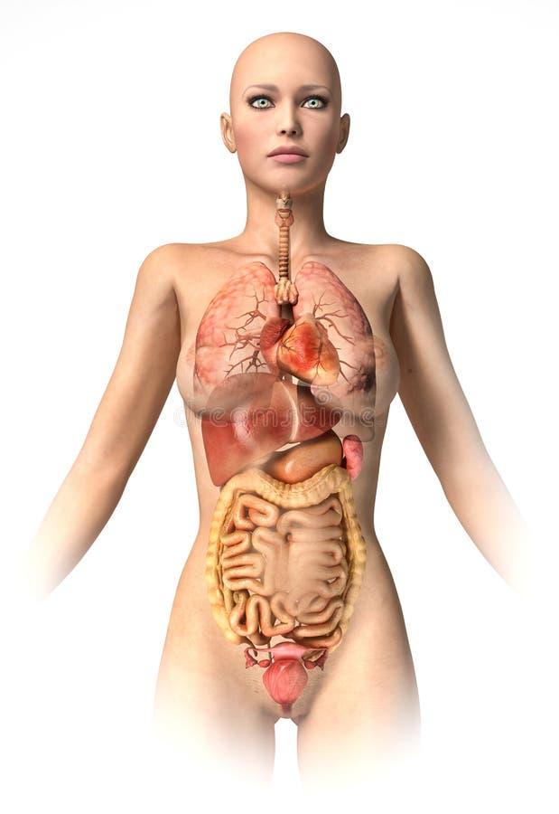Het lichaam van de vrouw met binnenlandse toegevoegde organen. stock illustratie
