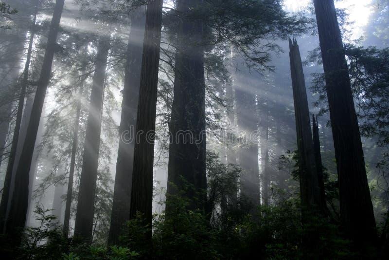 Het Licht van de Californische sequoia royalty-vrije stock foto's