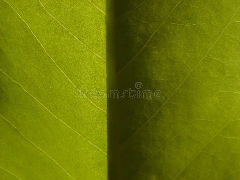 Het Lichte & Donkere Blad Van De Magnolia Stock Afbeelding