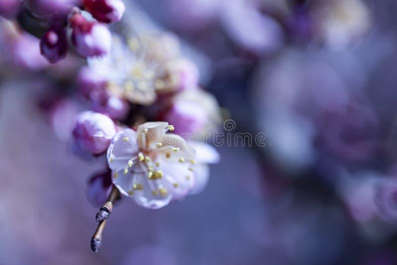 Het lichtjes vage mooie abrikozenwit bloeit stock afbeelding