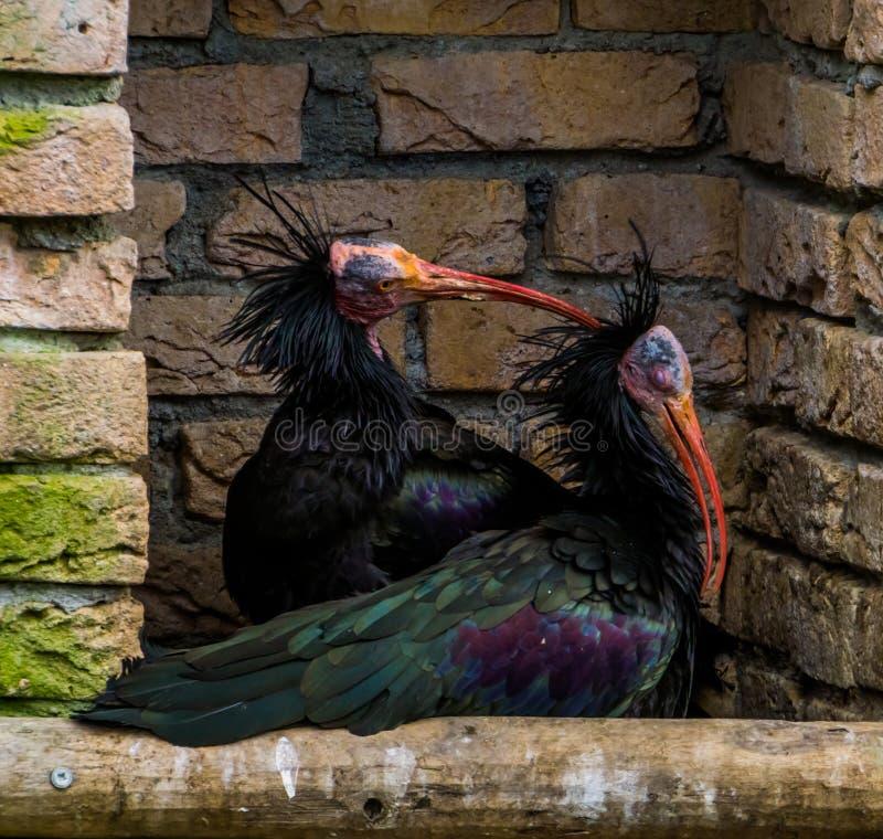 Het liefdepaar van Noordelijke kale ibissen samen, één die het hoofd van andere, grappig dierlijk gedrag krassen, bracht vogels v stock afbeeldingen