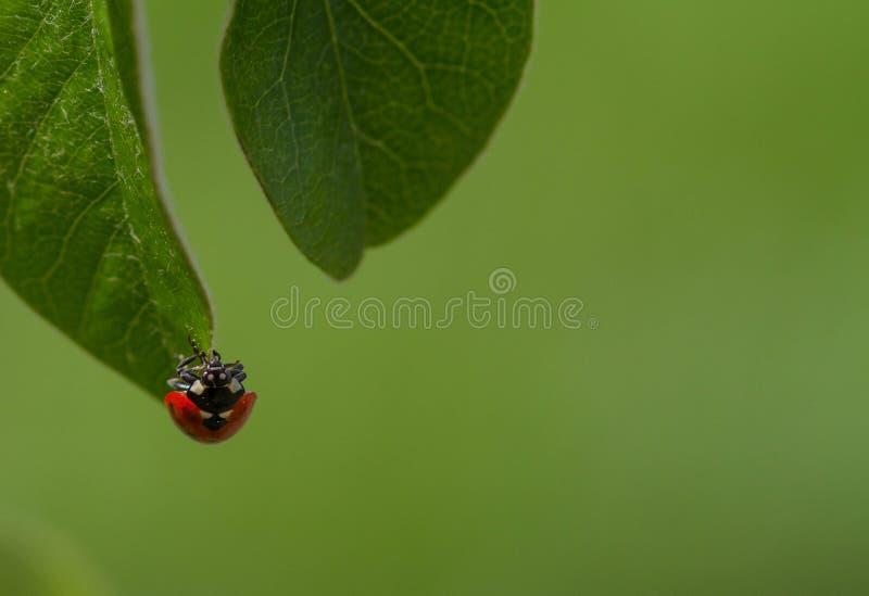 Het lieveheersbeestje op leaff in a kan tuin opspringen royalty-vrije stock afbeelding