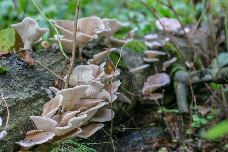 Het liggen boom met clusters van paddestoelen wordt overwoekerd die Het liggen boom met clusters van paddestoelen wordt overwoeke royalty-vrije stock fotografie