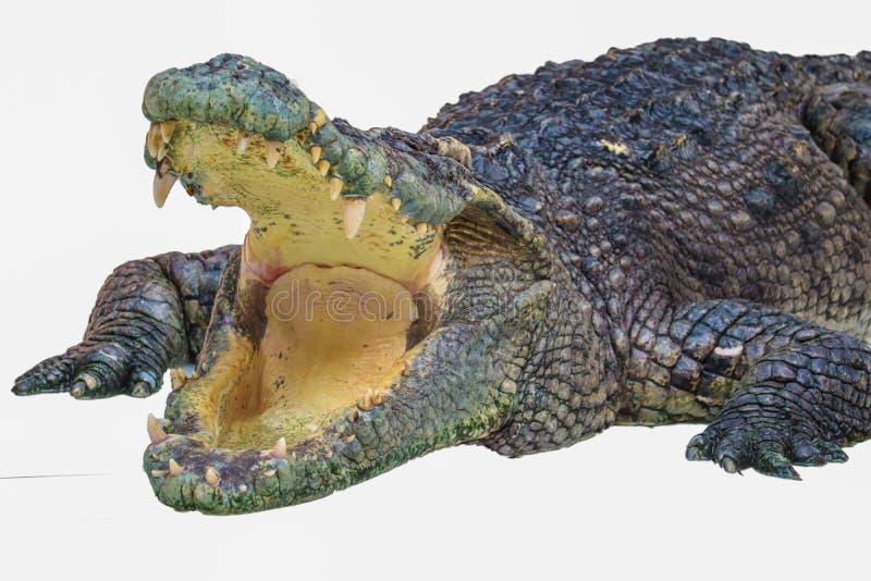 Het liggen krokodil die op wit wordt ge?soleerdl stock foto