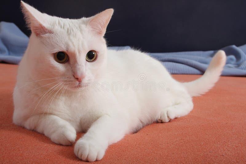 Het liggen witte kat stock foto