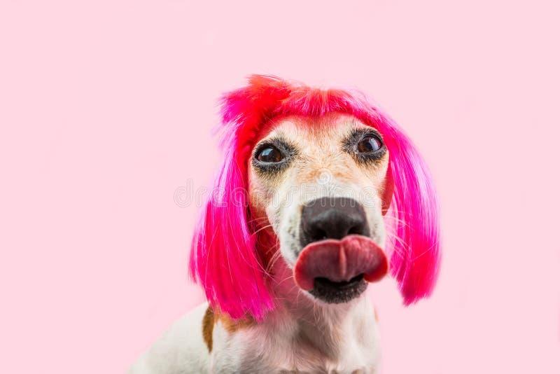 Het likken van hongerige hond in in grappige roze pruik stock afbeeldingen