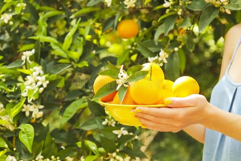 Het lokale hoogtepunt van de het landbouwbedrijftuin van de opbrengs oranje boom van zonlicht Oogsten, fruit die, vrouwelijke de  royalty-vrije stock afbeeldingen