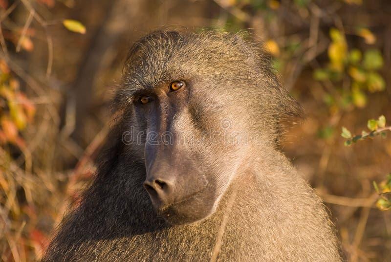 Het longing van de baviaan ziet eruit royalty-vrije stock afbeeldingen
