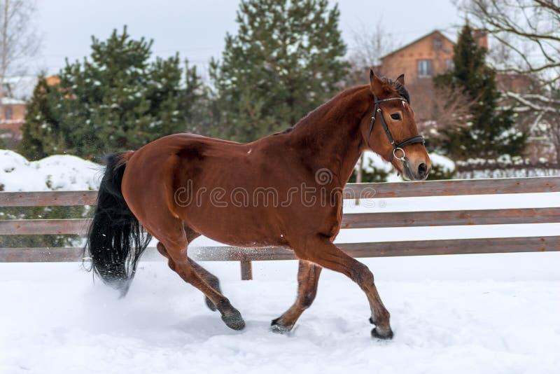Het lopen actief jong paard op sneeuw royalty-vrije stock foto