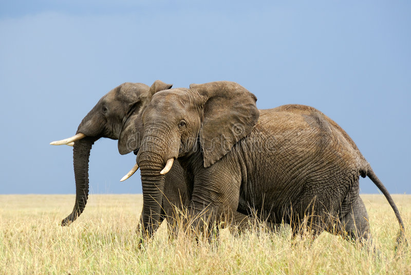 Het lopen Afrikaanse olifanten royalty-vrije stock foto