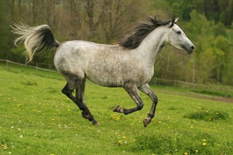 Het lopen Arabisch paard, Shagya Arabier stock foto's