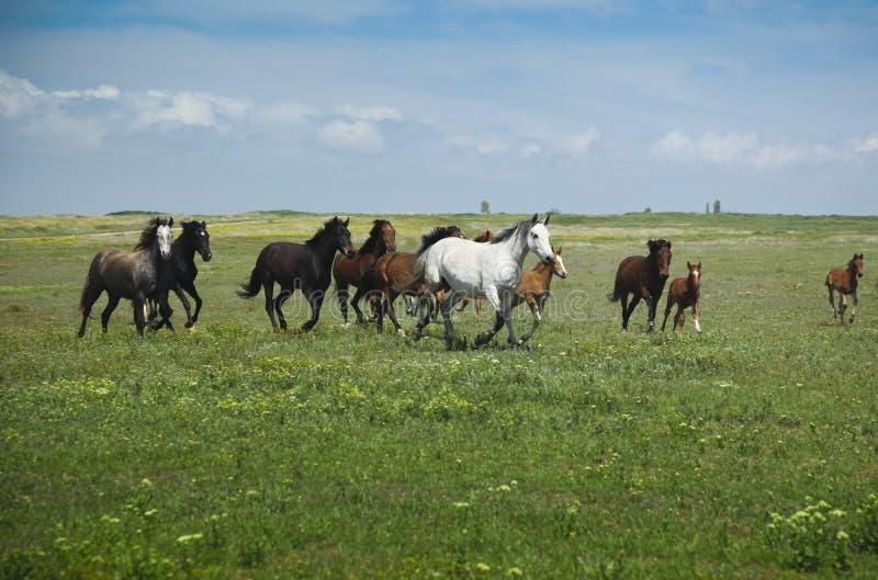 Het Lopen/de hemel en het gras van paarden stock fotografie