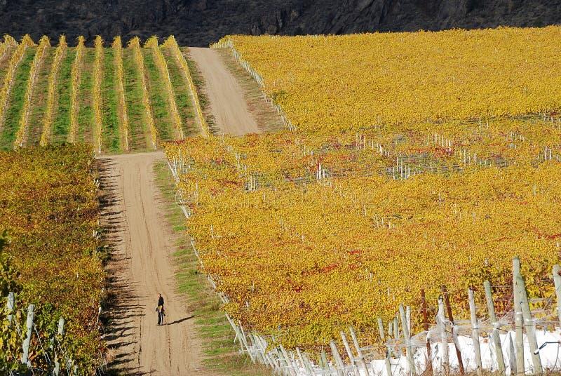 Het lopen door de wijngaard stock foto's