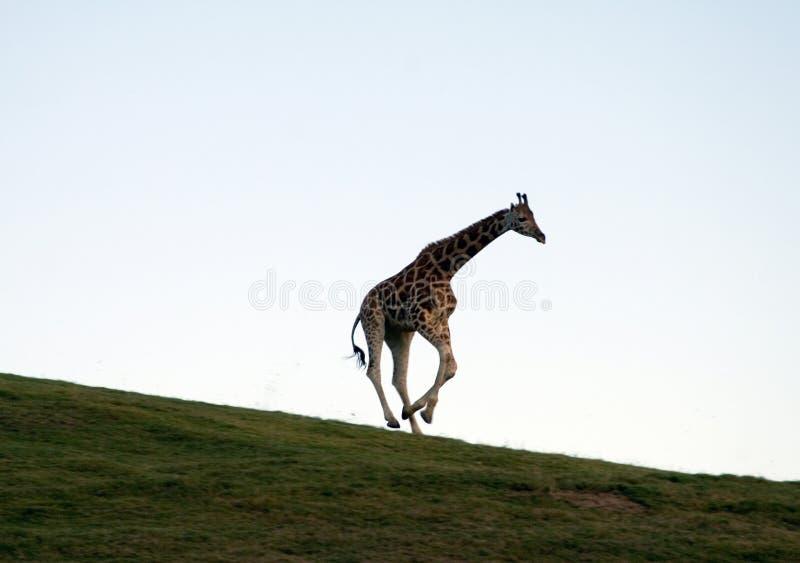 Het lopen giraf stock foto's