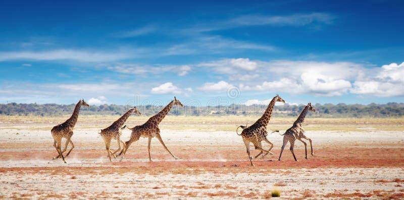 Het lopen giraffen royalty-vrije stock afbeelding