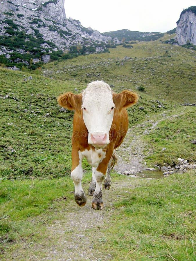 Het lopen koe stock afbeeldingen