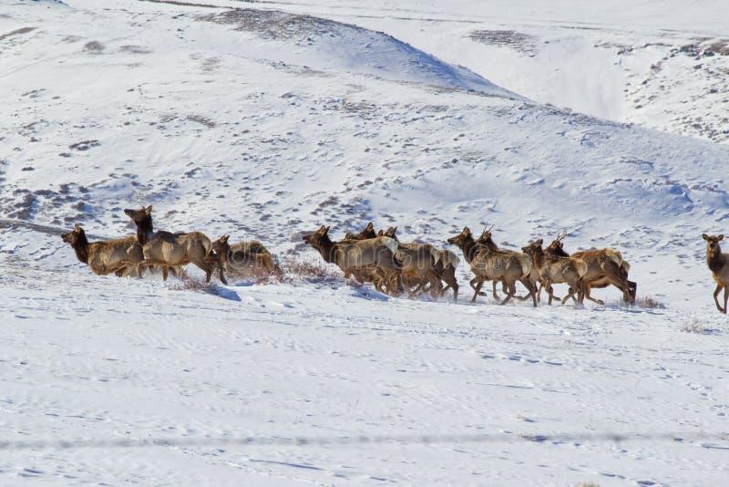 Het lopen kudde van elanden royalty-vrije stock afbeelding
