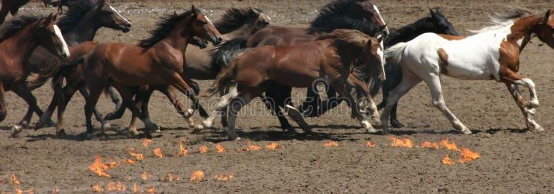 Het lopen paarden en brandcirkels royalty-vrije stock afbeeldingen