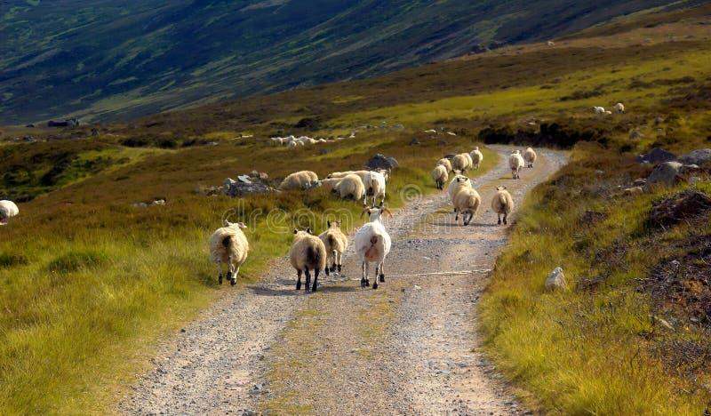 Het lopen schapen stock foto's