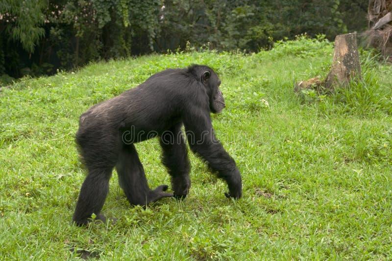 Het lopen van de aap royalty-vrije stock foto