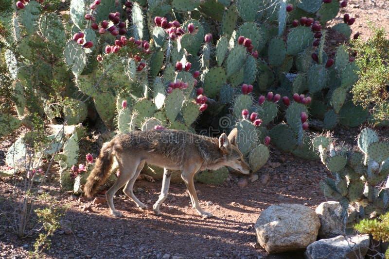 Het lopen van de coyote stock afbeelding