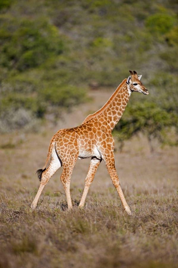 Het Lopen van de Giraf van de baby royalty-vrije stock foto's