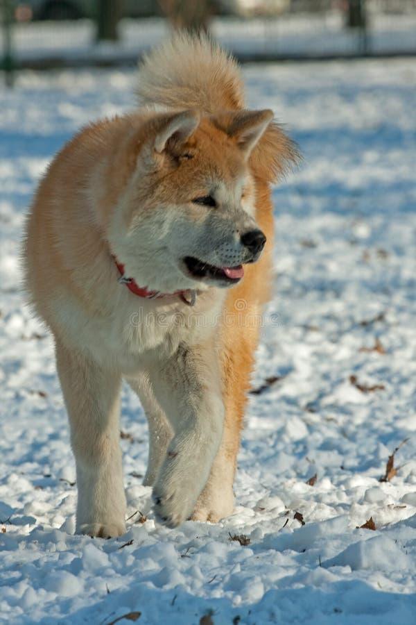 Het lopen van de hond stock afbeeldingen