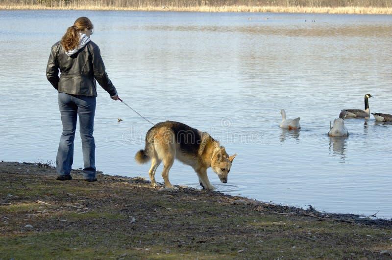 Het Lopen van de hond stock foto's
